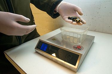 A wild Fire salamander (Salamandra salamandra) about to be weighed, part of a program to capture the last wild population in the Netherlands and keep it safe in GaiaZOO to prevent infection from a dea...