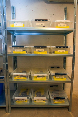 Shelves with containers housing the last wild Fire salamanders (Salamandra salamandra) in the Netherlands, captured and kept safe in GaiaZOO to prevent infection from a deadly fungus, Batrachochytrium...