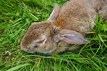 Rabbit (Orycolagus cuniculus) severely affected by myxomatosis caused by Myxoma virus a fatal disease, Berkshire, September