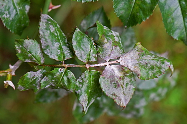 Powdery mildew (Podosphaera pannosa) fungal infection on rose leaves, Berkshire, September
