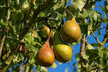 Brown rot (Monilinia laxa or M.fructigena) fungal disease on conference pear fruit on the tree, Berkshire, September
