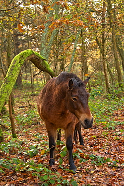 Exmoor pony roaming and grazing in Snelsmore Common near Newbury in autumn , maintained by Berks, Bucks and Oxon Wildlife Trust, Berkshire, November