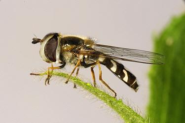 Hoverfly (Scaeva pyrastri) adult predator on a leaf, Devon, July