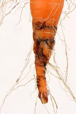 Carrot root fly (Chamaepsila rosae) larval damage to mature carrot tap root, Devon, September