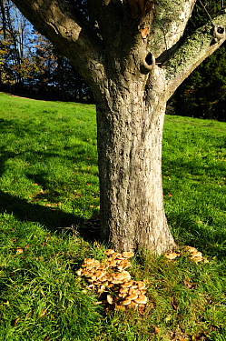 Fruiting bodies of Honey fungus (Armillaria mellea) around the base of an old apple tree in autumn, Devon, England, UK. November