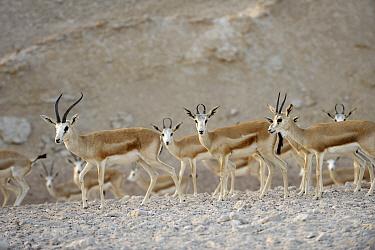 Arabian sand gazelles (Gazella subgutturosa marica) on Sir Bani Yas Island Wildlife Reserve, Abu Dhabi, UAE, November