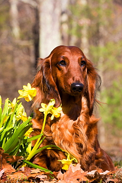 Long-haired Dachshund beside spring garden daffodils, Putnam, Connecticut, USA,