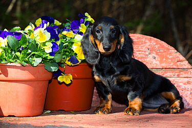 Long-haired dachshund puppy sitting by garden Pansies in pot, Connecticut, USA.