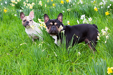 French bulldogs standing amongst garden daffodils, Connecticut, USA.