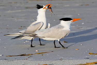 Royal Tern (Thalasseus maxima) in breeding plumage, offering fish to potential mate, Tierra Verde, Florida, USA, April.