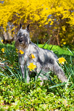 Standard Schnauzer dog among yellow spring flowers, Connectiut, USA.
