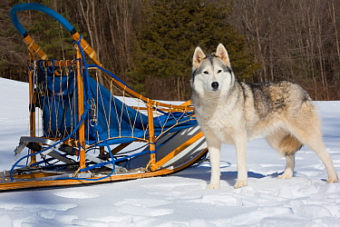 Siberian Husky in snow by dog sled, Massachusetts, USA.