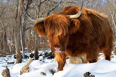Highland cow in winter, Connecticut, USA.