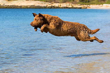 Chesapeake Bay Retriever male jumping into water, water entry, Connecticut, USA.