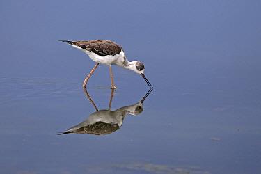 Black-winged stilt (Himantopus himantopus) Mallorca, August.