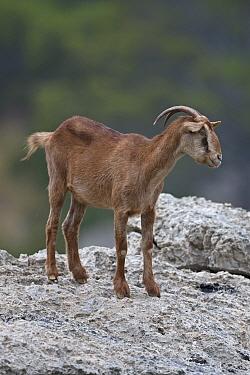 Balearian feral goat (Capra aegagrus hircus) Mallorca, August.