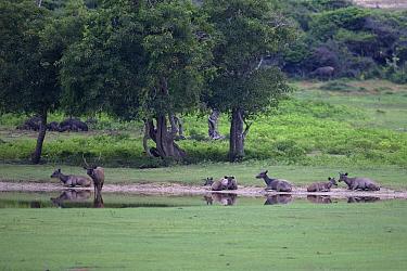 Sambar (Cervus unicolor) herd, Sri Lanka.