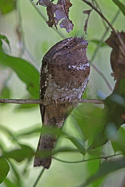 Sri Lanka frogmouth (Batrachostomus moniliger) Sri Lanka.