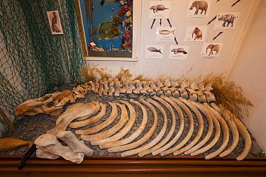 The skeleton of an extinct Steller's Sea Cow (Hydrodamalis gigas), on display in the small museum at Nikolskoye, Bering Island, Commander Islands (aka Komandorski Islands), Russia