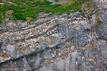 Seabird colony on Verkhoturova Island in the Bering Sea, Russia. Nesting species include common and Brunnich's guillemots (Uria aalge and Uria lomvia arra -- also known as the common murre and thi...