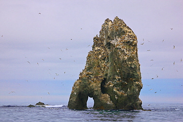 Seabird colony on off-shore rocks in the Bering Sea near Verkhoturova Island, Russia. The nesting species include common and Brunnich's guillemots (Uria aalge and Uria lomvia arra -- also known as...