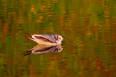 Black-legged kittiwake (Rissa tridactyla) juvenile swimming in a small freshwater pond near the shore of Verkhoturova Island, Koryaksky Nature Reserve, Bering Sea, Kamchtaka, Russia.