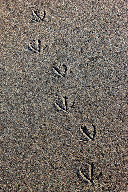 Tracks of a gull in sand near the shore of Koryaksky Nature Reserve, Karaginsky Island, Kamchatka, Russia.