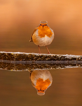 European robin (Erithacus rubecula) reflected in water, UK. December.