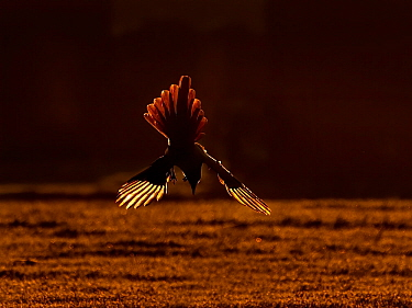 Magpie (Pica pica) diving down at sunrise , UK. December.