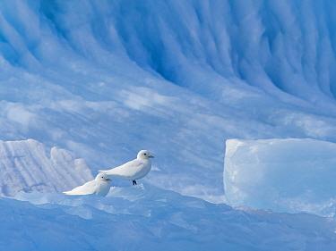 Ivory Gull (Pagophila eburnea) On iceberg Svalbard