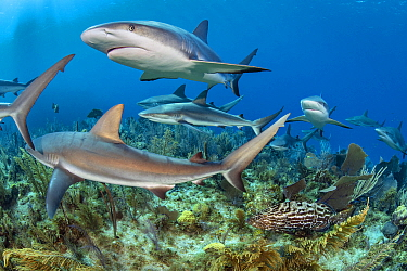 RF - Caribbean reef sharks (Carcharhinus perezi) swimming over a coral reef accompanied by Black grouper (Mycteroperca bonaci). Jardines de la Reina, Gardens of the Queen National Park, Cuba. Caribbea...