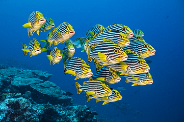 RF - A school of oriental sweetlips (Plectorhinchus vittatus) gather tightly together as they rest during the day on a coral reef. Laamu Atoll, Maldives. Indian Ocean (This image may be licensed eithe...