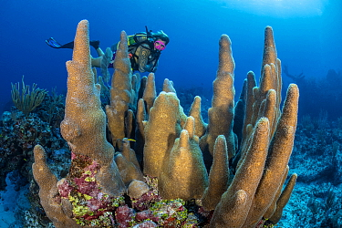 RF - A diver (Joe Crane) looks at a large pillar coral (Dendrogyra cylindrus) growing on a coral reef. Dive site: Old Isaacs. East End, Grand Cayman, Cayman Islands, British West Indies. Caribbean Sea...