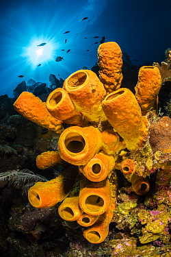 A yellow tube sponge (Aplysina fistularis) growing on a Caribbean coral reef, withsun burst above. East End, Grand Cayman, Cayman Islands, British West Indies. Caribbean Sea.