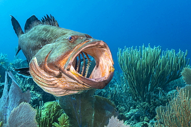 Black grouper (Mycteroperca bonaci) yawning on a coral reef. Jardines de la Reina, Gardens of the Queen National Park, Cuba. Caribbean Sea.