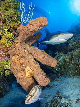 Caribbean reef shark (Carcharhinus perezi) swims past a brown tube sponge (Agelas conifera) growing on a coral reef, while a Nassau grouper (Epinephelus striatus) hides below. Jardines de la Reina, Ga...