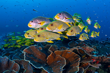A mixed school of diagonal-banded sweetlips (Plectorhinchus lineatus) and ribbon sweetlips (Plectorhinchus polytaenia) gather above plate corals, with convict blennies (Pholidichthys leucotaenia). Sau...
