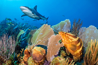 Caribbean reef shark (Carcharhinus perezi) swimming over a coral reef, watched by a Nassau grouper (Epinephelus striatus) surrounded by common sea fans (Gorgonia ventalina). Jardines de la Reina, Gard...