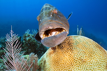 A large black grouper (Mycteroperca bonaci) hovers over a symmeterical brain coral (Diploria strigosa) on a coral reef. Jardines de la Reina, Gardens of the Queen National Park, Cuba. Caribbean Sea.