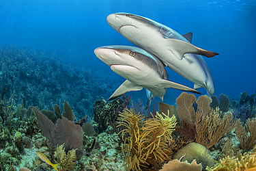 Pair of Caribbean reef sharks (Carcharhinus perezi) swim over a coral reef. Jardines de la Reina, Gardens of the Queen National Park, Cuba. Caribbean Sea.