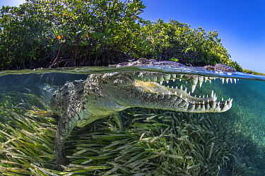 Split level photo of an American crocodile (Crocodylus acutus) beneath red mangrove trees (Rhizophora mangle) above a bed of seagrass (turtlegrass: Thalassia testudinum). Jardines de la Reina, Gardens...
