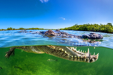 Split level photo of an American crocodile (Crocodylus acutus) beneath red mangrove trees (Rhizophora mangle) above a bed of seagrass ( Thalassia testudinum). Jardines de la Reina, Gardens of the Quee...