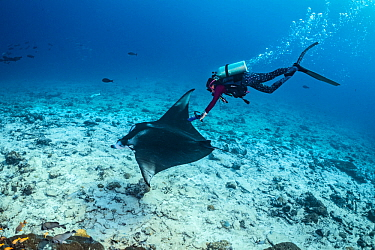 Marine biologist using an underwater ultrasound to scan a female manta ray (Mobula alfredi) over a coral reef. Laamu Atoll, Maldives. Indian Ocean