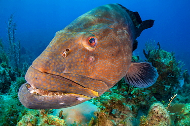 Black grouper (Mycteroperca bonaci) on a coral reef. Jardines de la Reina, Gardens of the Queen National Park, Cuba. Caribbean Sea.