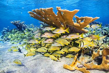 School of bluestriped grunt (Haemulon sciurus), Schoolmaster snapper (Lutjanus apodus) and Porkfish (Anisotremus virginicus) sheltering beneath the branches of the critically endangered Elkhorn coral...