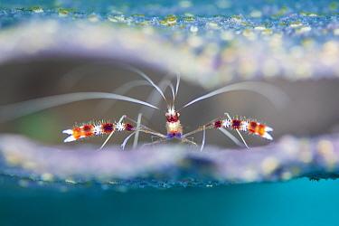 Banded coral shrimp (Stenopus hispidus) shelters inside Pink vase sponge (Niphates digitalis), on a coral reef. Photographed through the narrow aperture of the sponge. Jardines de la Reina, Gardens of...