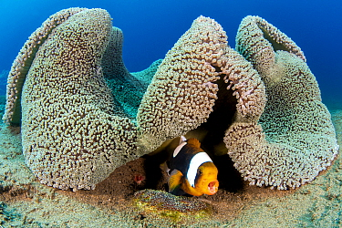 Saddleback anemonefish (Amphiprion polymnus) barks a warning as it guards a clutch of developing eggs (beneath it) laid on a small stone, below a fold in its home, a Haddon's sea anemone (Stichoda...