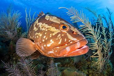 Nassau grouper (Epinephelus striatus) swimming among sea plumes (Pseudopterogorgia sp.) on a coral reef. Jardines de la Reina, Gardens of the Queen National Park, Cuba. Caribbean Sea.