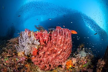 Reef scene with a giant barrel sponge (Xestospongia testudinaria) coral grouper (Cephalopholis miniata) beneath scholling silversides (Atherinidae). Pelee Islands, Misool, Raja Ampat, West Papua, Indo...
