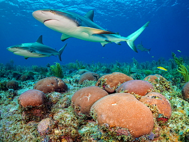 Caribbean reef sharks (Carcharhinus perezi) swim over a boulders of massive starlet coral (Siderastrea siderea) on a reef. Jardines de la Reina, Gardens of the Queen National Park, Cuba. Caribbean Sea...